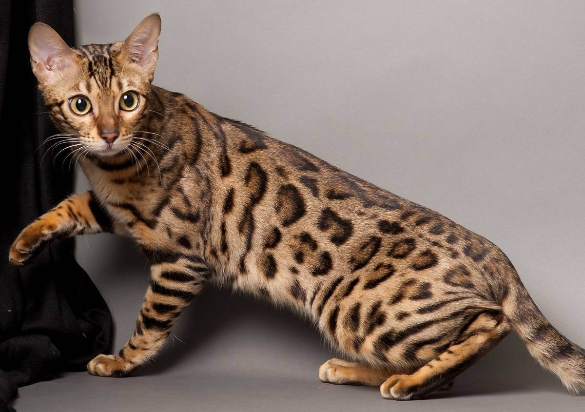 Самые дорогие кошки в мире с фотографиями и названиями: топ-10 элитных питомцев
