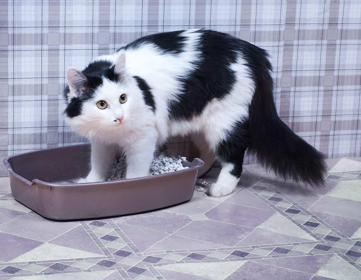 Почему кошка ходит в туалет по-маленькому с кровью и что делать