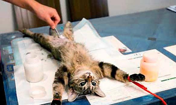 Стерилизация кошки на дому за и против
