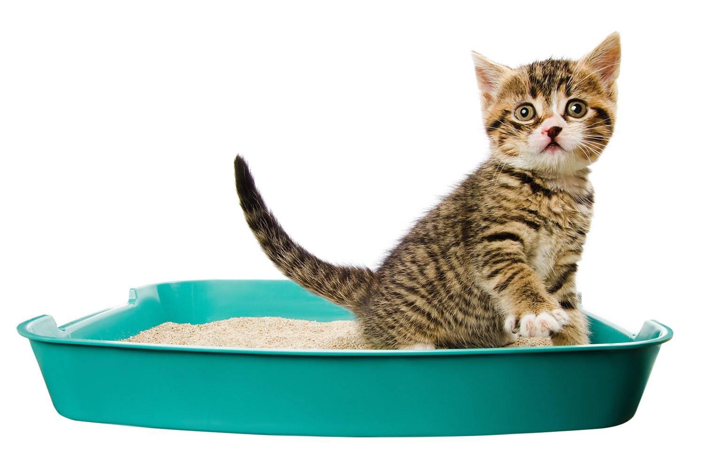 Как приучить котенка к лотку: 7 шагов + видео инструкции