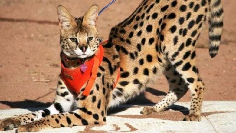 Сервал – кошка родом из африки, описание породы, особенности ухода, воспитания и кормления