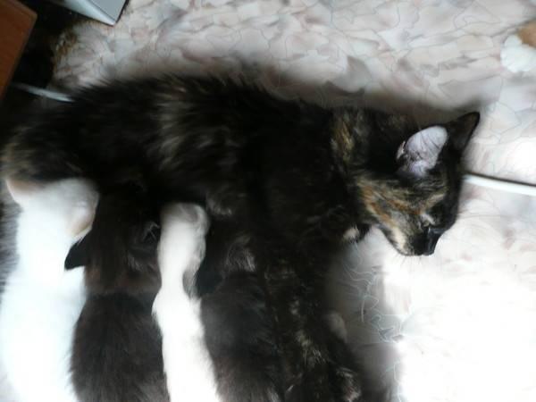 Беременность у кошек: о чем должен знать ответственный владелец