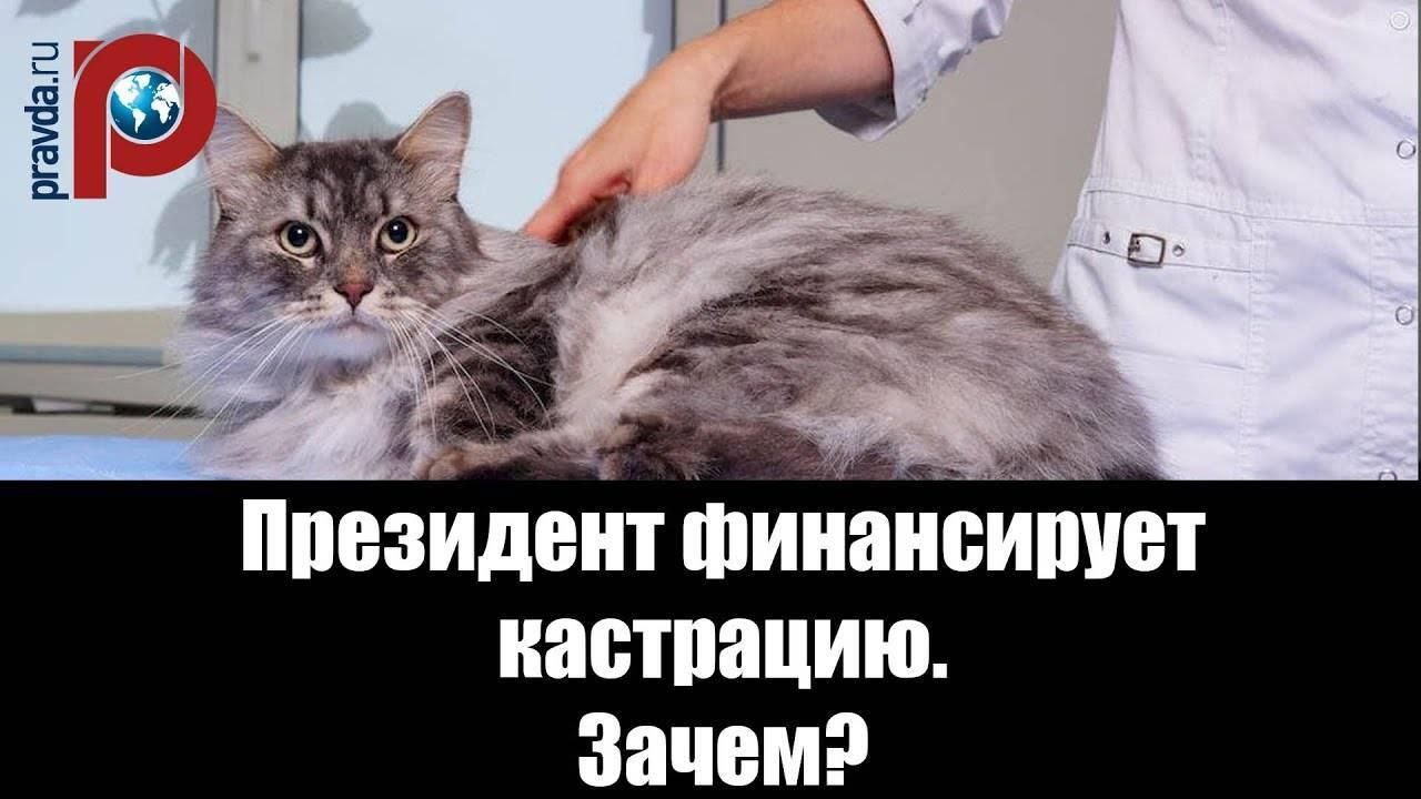 Почему кастрированный кот всё время мяукает