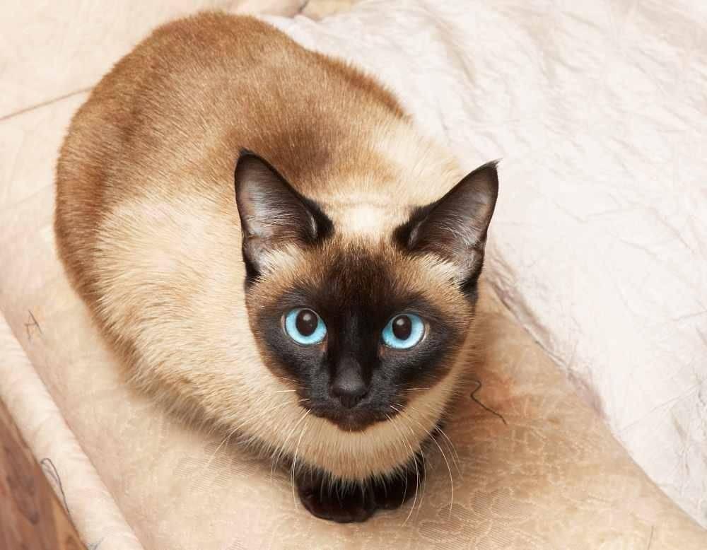 7 пород кошек-долгожителей