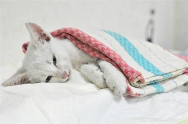 Панлейкопения у кошек: симптомы, признаки и лечение, опасность для человека, инкубационный период, вакцинация