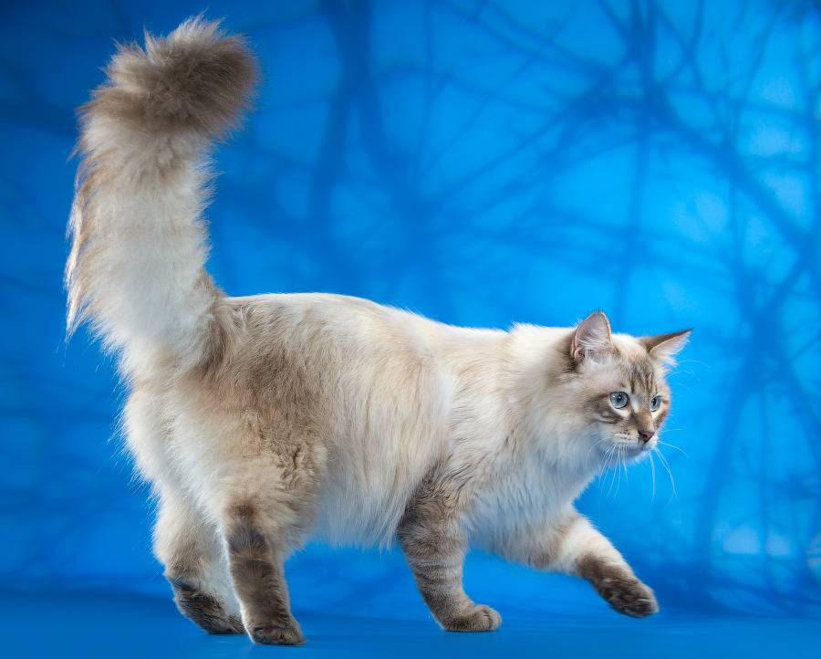 Невская маскарадная кошка - цена, характеристика, питание и уход за шерстью (105 фото)