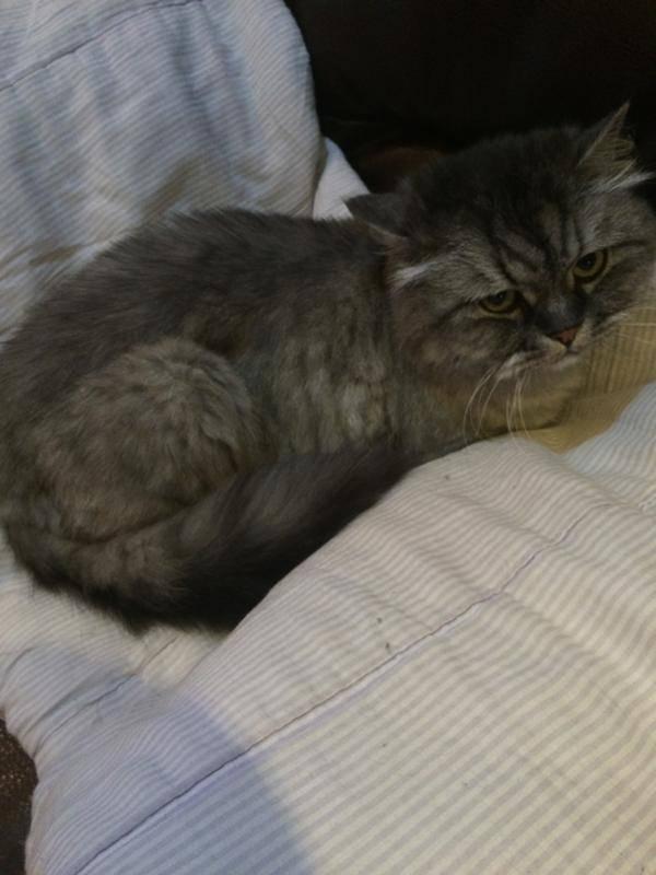 Котенка рвет белой пеной: каковы причины рвоты, опасно ли это, что следует предпринять?