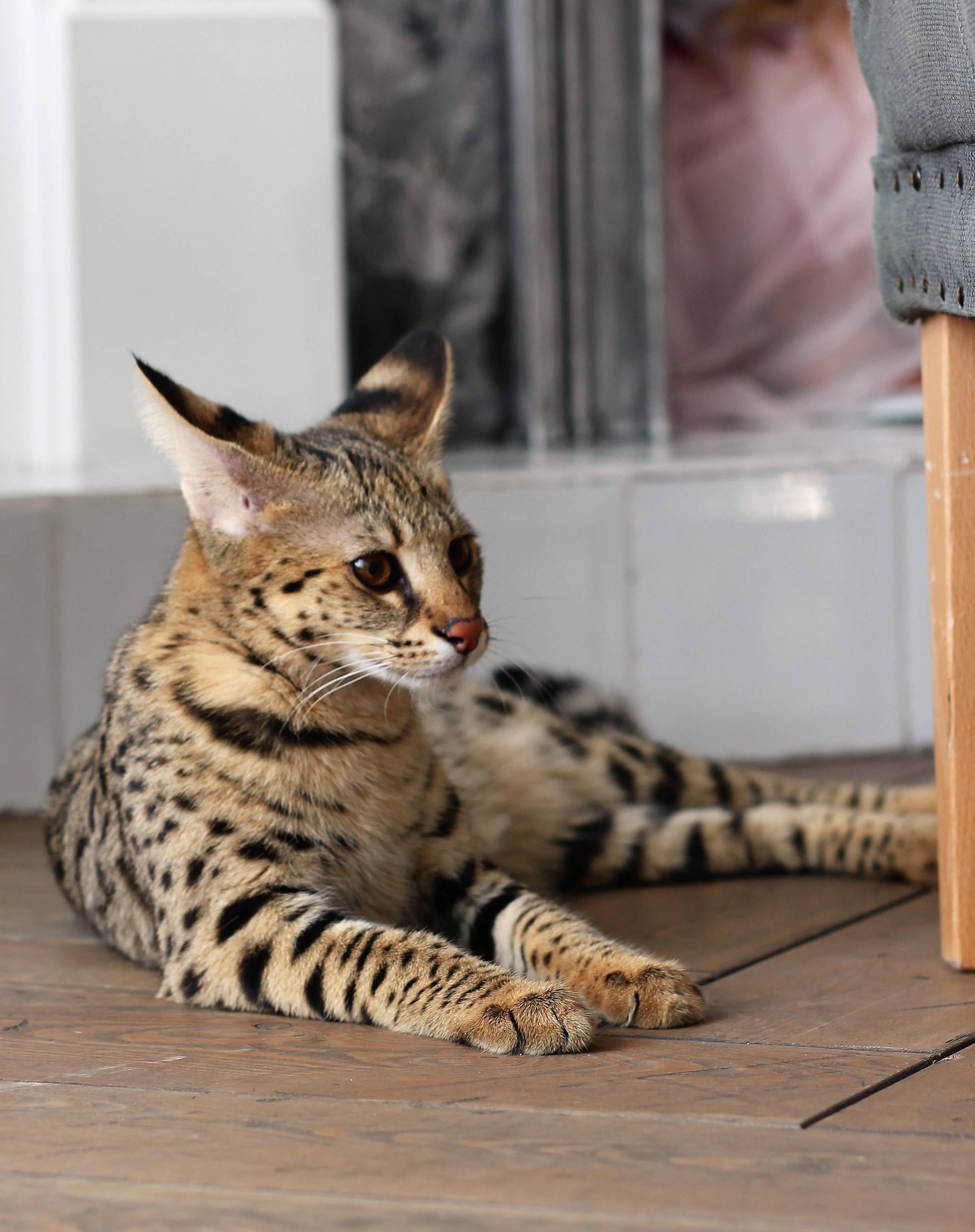 Тонкинская кошка — описание породы, особенности внешности и характеристика породы (85 фото)
