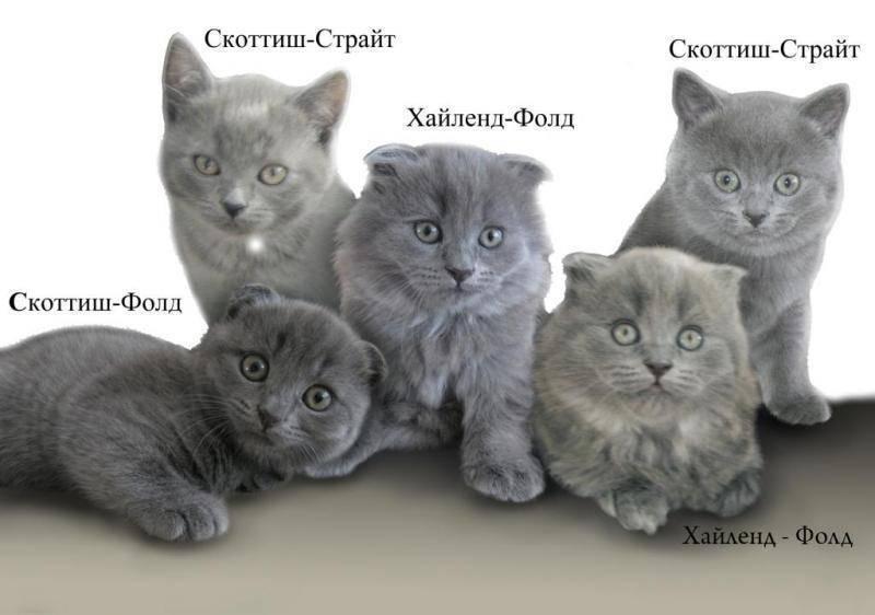 Скоттиш-страйт, или шотландская прямоухая кошка: описание породы, характер животного, фото