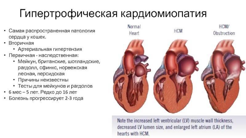 Гкмп у кошек (гипертрофическая кардиомиопатия)