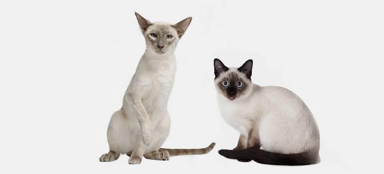 Чем отличаются тайские кошки от сиамских