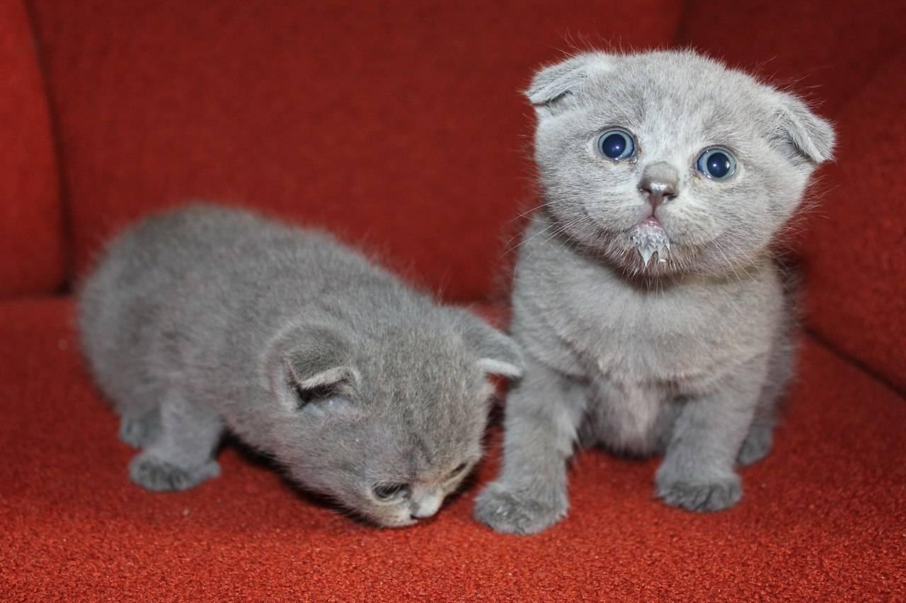 Как назвать шотландскую кошку: лучшие имена и идеи для владельцев