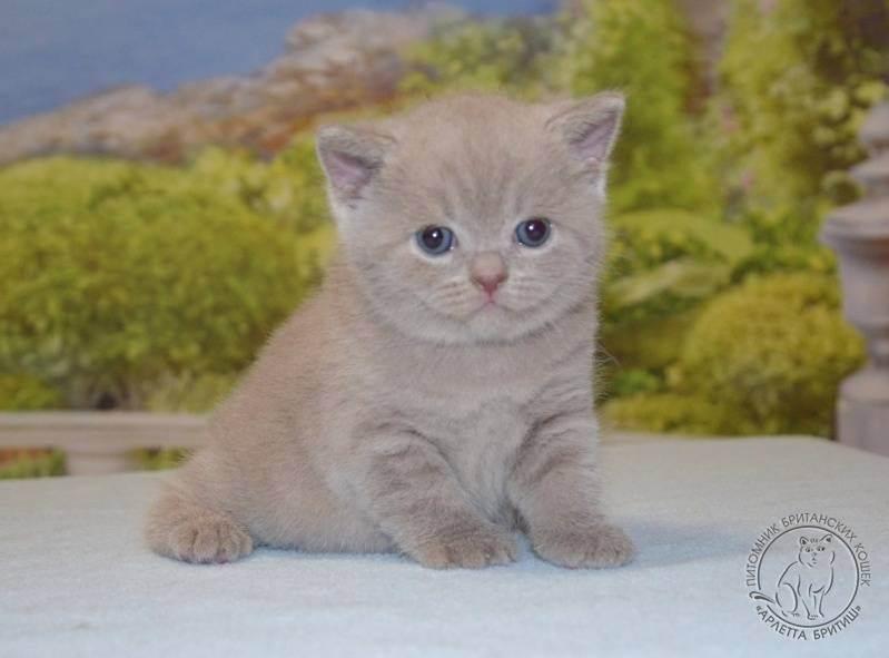 Питомник британских короткошерстных кошек «bastet-a-tet»
