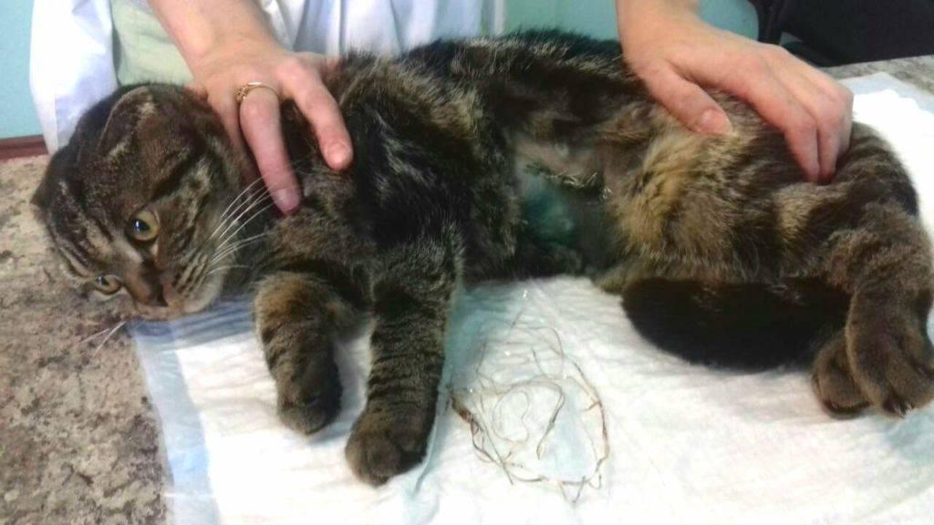 Кишечная непроходимость у кошек: симптомы, признаки, лечение, диагностика