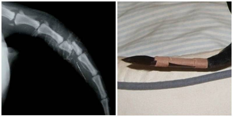 Кот сломал хвост: симптомы и методы лечения