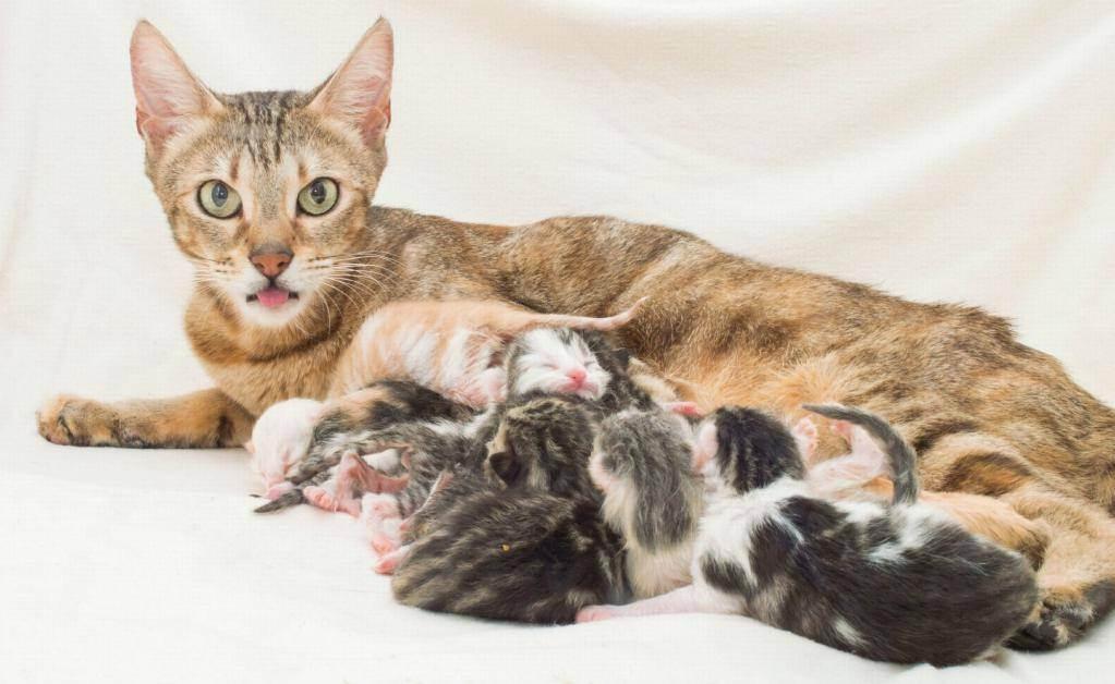 Сколько длятся роды у кошки: временные показатели каждого этапа