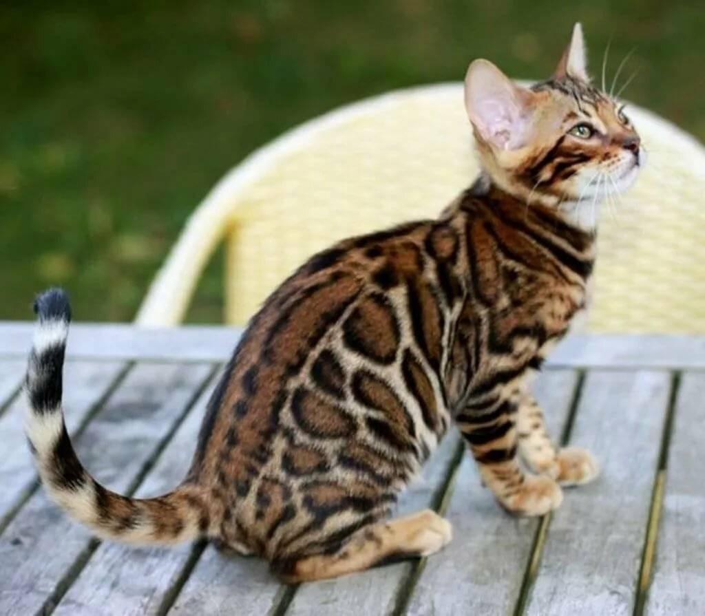 Бенгальская кошка: описание породы, уход и содержания в домашних условиях