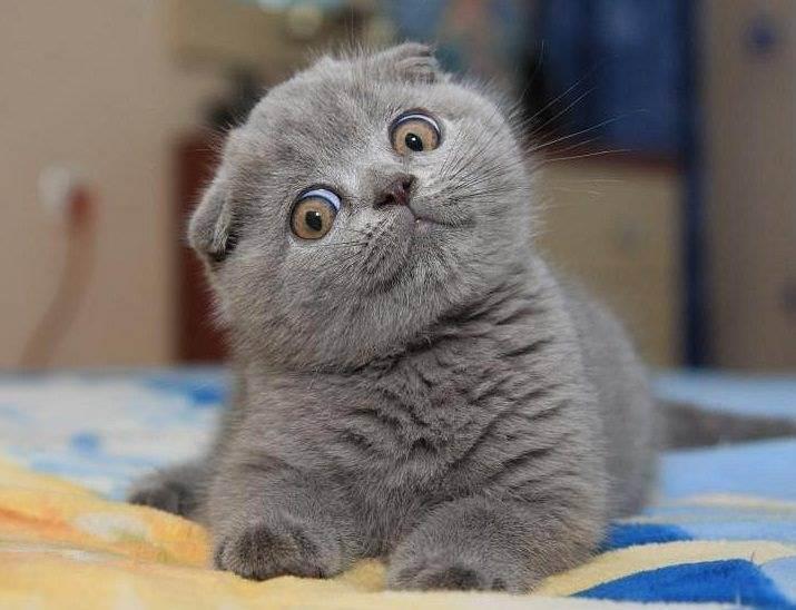 Как назвать котенка девочку: какие клички для британского вислоухого серого, забавный шотландский, окраска и оттенок, скоттиш и фолд
