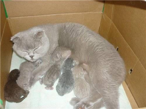 Роды у британской кошки - подготовка и как принять