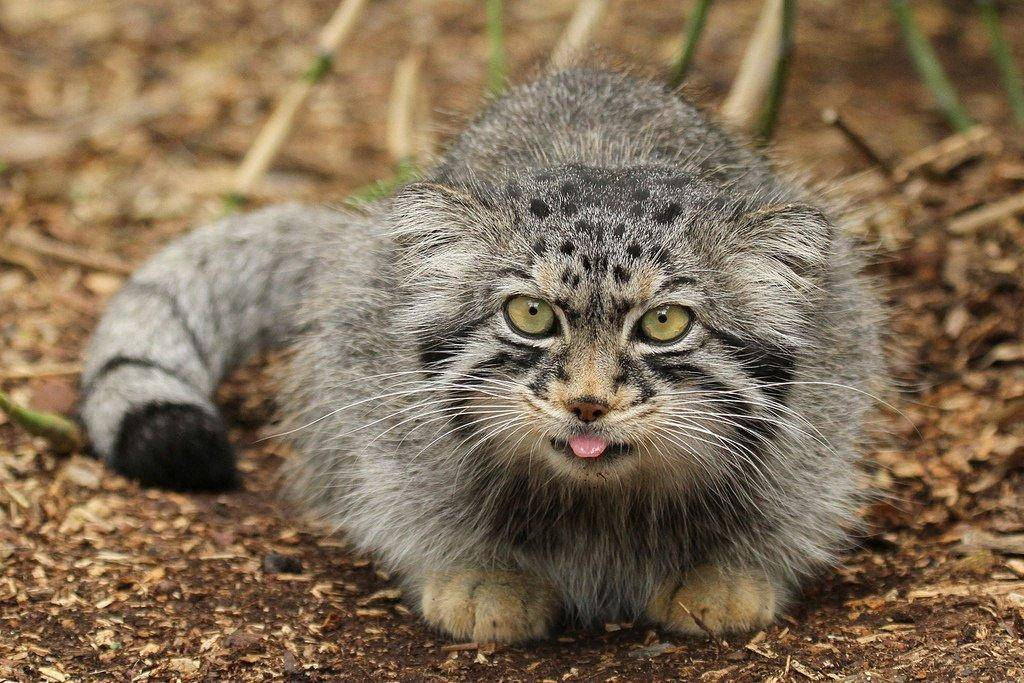 Манул: описание дикого кота, характер, среда обитания и образ жизни, фото
