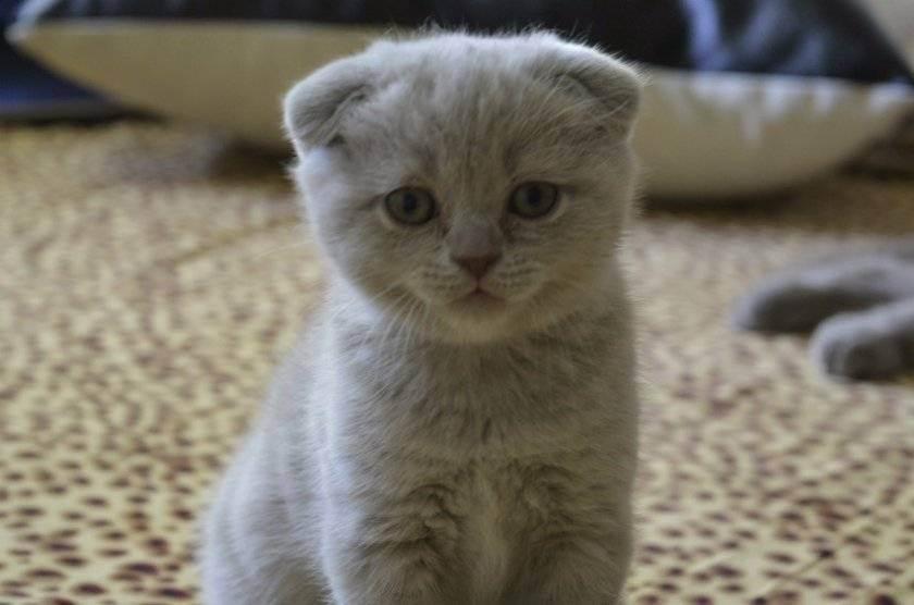 Как завести скоттиш фолда или шотландскую вислоухую кошку