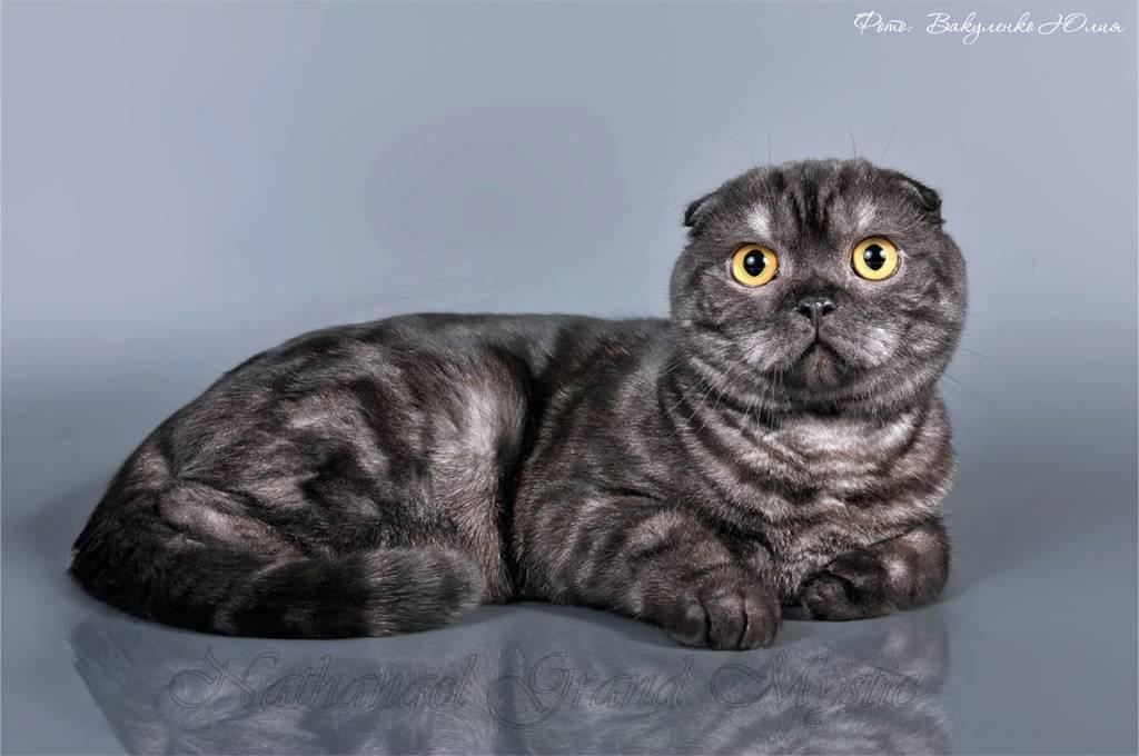 Окрасы шотландских вислоухих кошек и котов - фото с описанием.