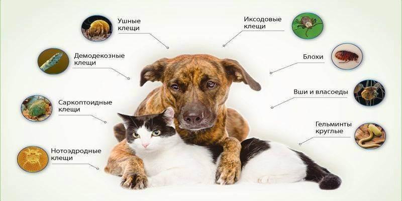 Дирофиляриоз у собак: пути заражения, диагностика, лечние и профилактика