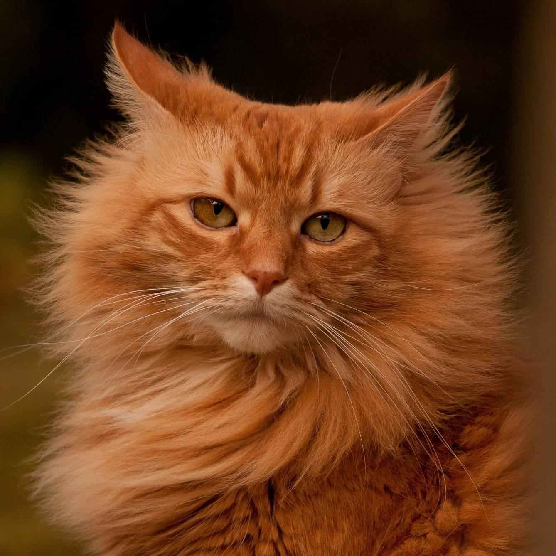Приметы о рыжем коте