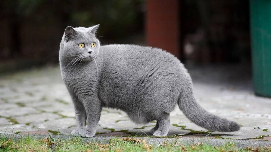 Все, что вы хотели бы узнать, прежде чем завести сибирскую кошку