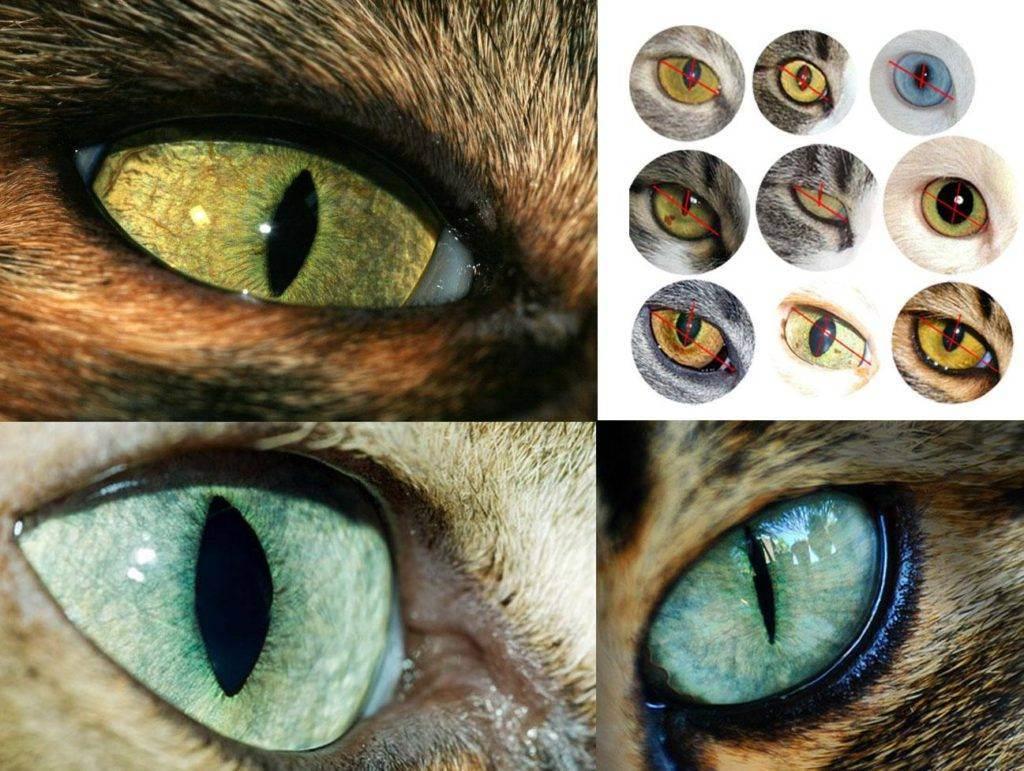 Расширенные зрачки у кошки: причины, лечение, симптомы