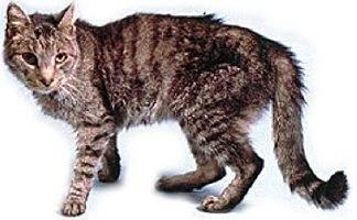 Гипертиреоз у кошек — диагностика и лечение заболевания