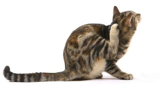 Почему кот прижимает уши. почему кот трясет головой и чешет уши? поведение ушей и усов