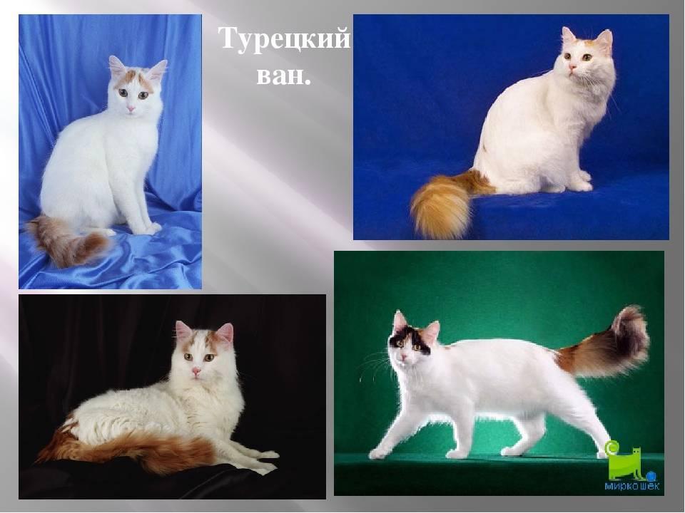 Турецкий ван: фото кошки, описание породы, характер и повадки, отзывы владельцев, выбор ванского котенка