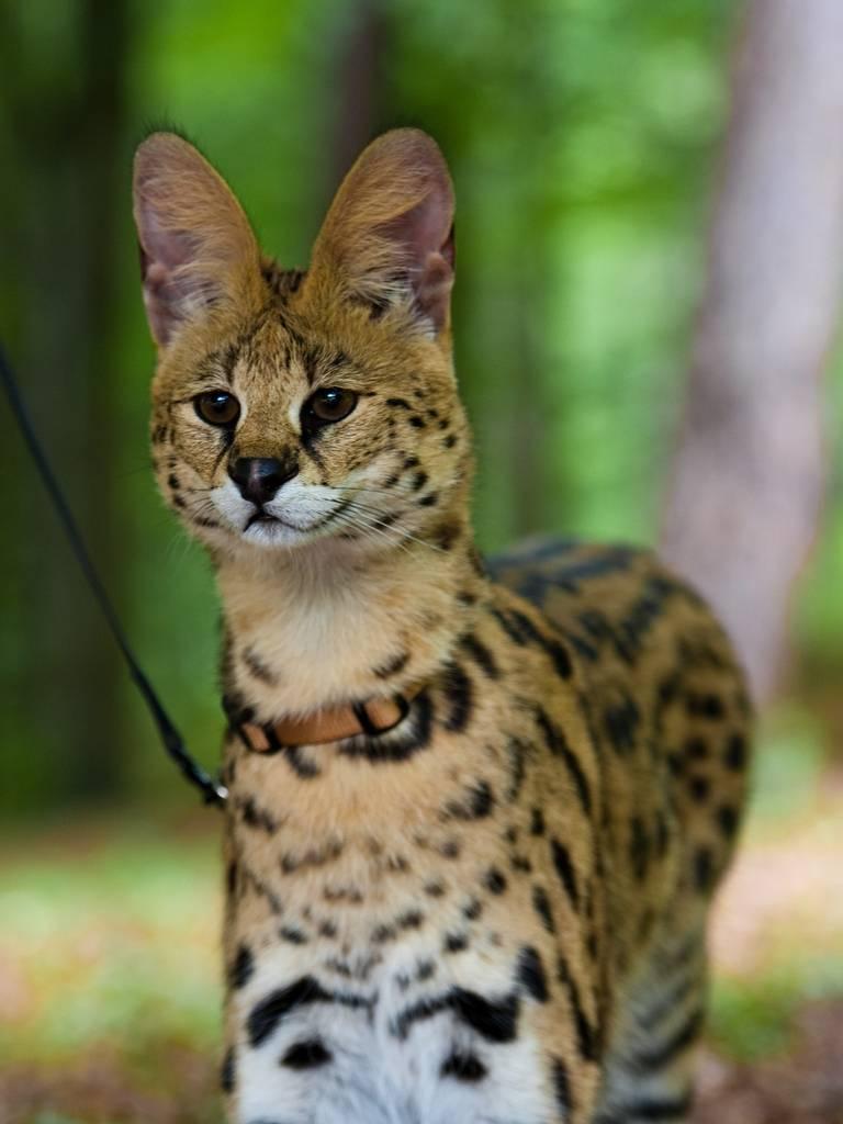 Сервал: дикая кошка, которую некоторые считают домашней
