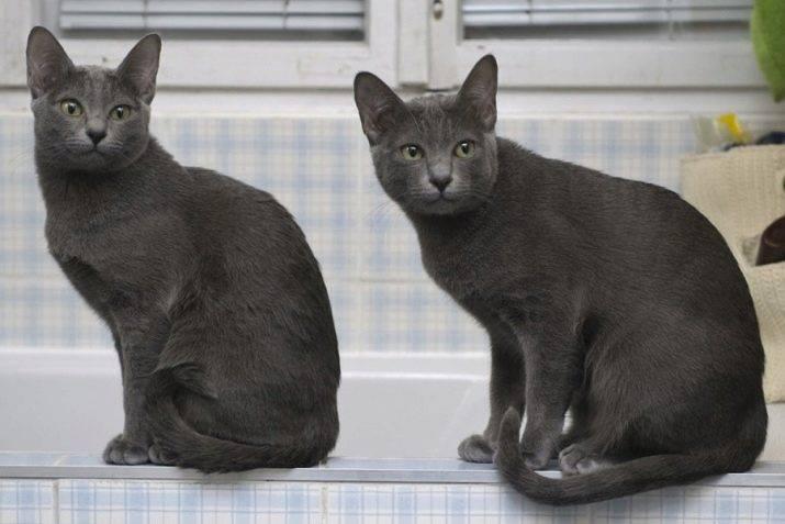 Кошка корат (31 фото): особенности породы, описание внешнего вида и характера кота
