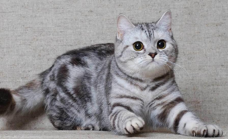 Беременность шотландской вислоухой кошки