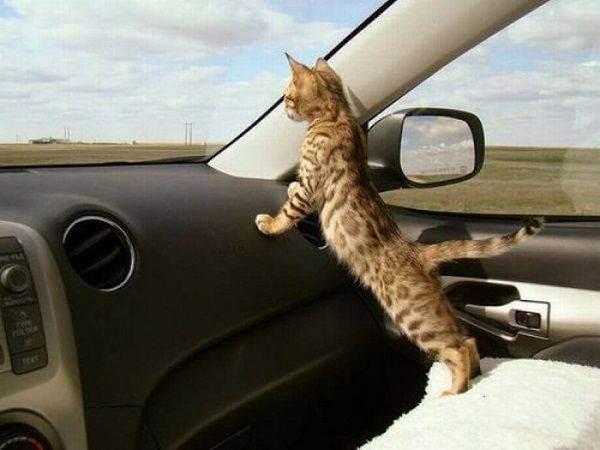 Перевести кота на натуральное питание. как перевозить кота в автомобиле: полезные советы по транспортировке. подготовка животного к дороге