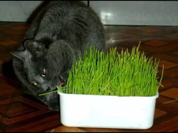 Какую траву прорастить для кошки?