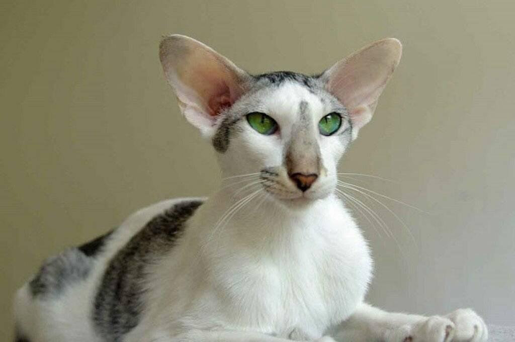 Внешность, характер и содержание ориентальной кошки