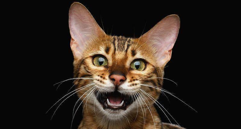 Кот мяукает когда ходит в туалет по маленькому