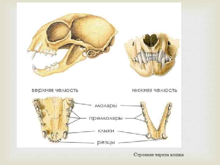 Скелет кошки: подробная анатомия: фото