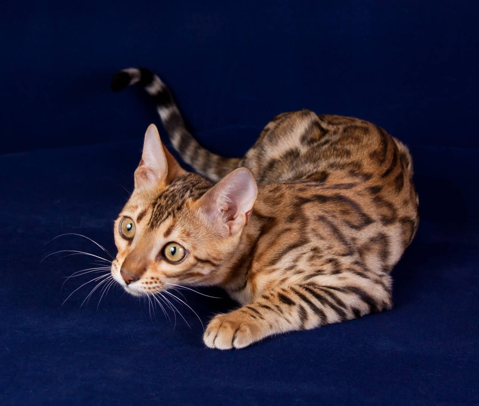Бенгальская кошка: описание породы, характер, фото, отзывы