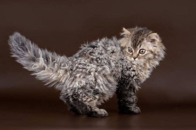 Разновидности и описание кудрявых кошек