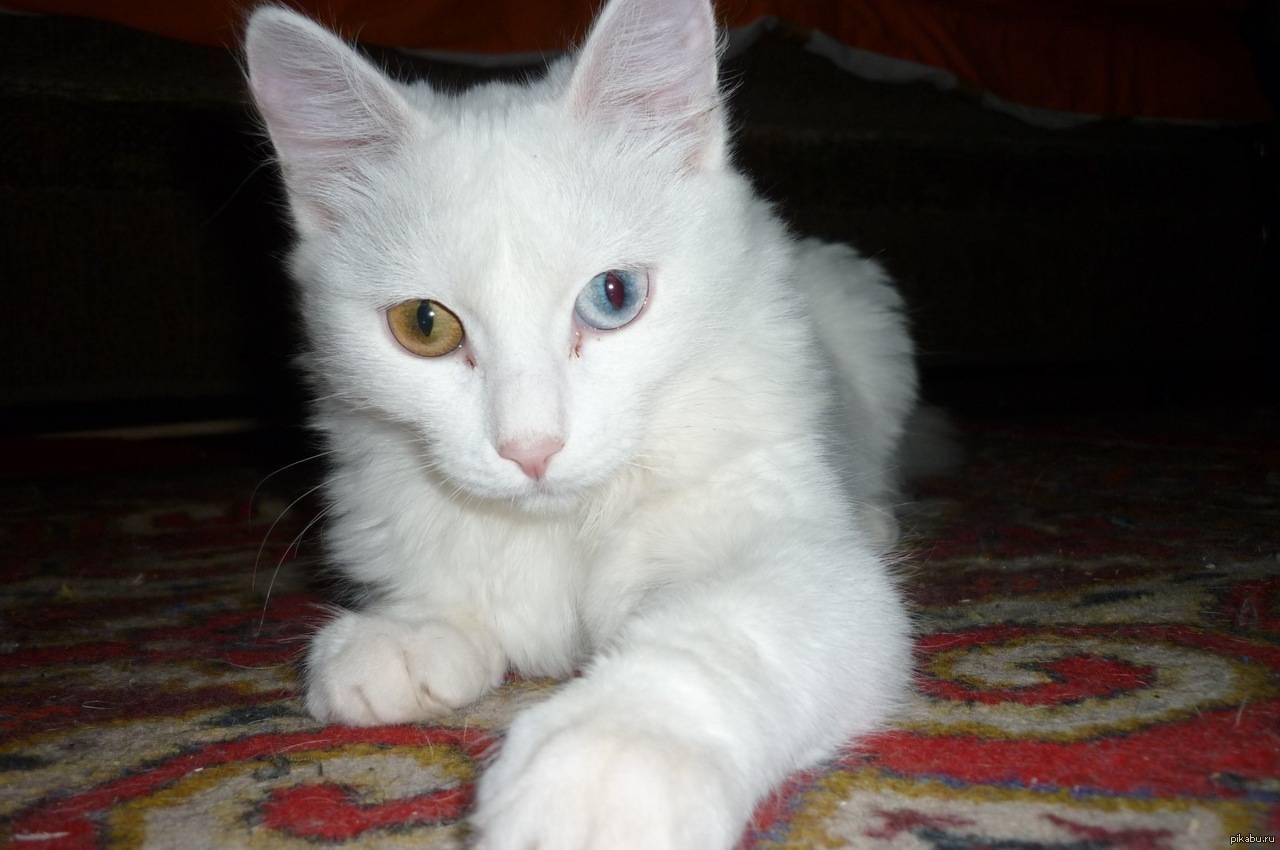 Белый котенок- обзор пород белых кошек