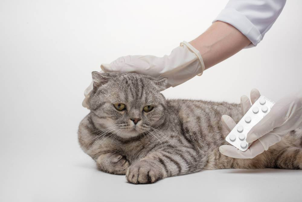 Остеохондродистрофия у шотландских вислоухих симптомы, остеодистрофия у кошек