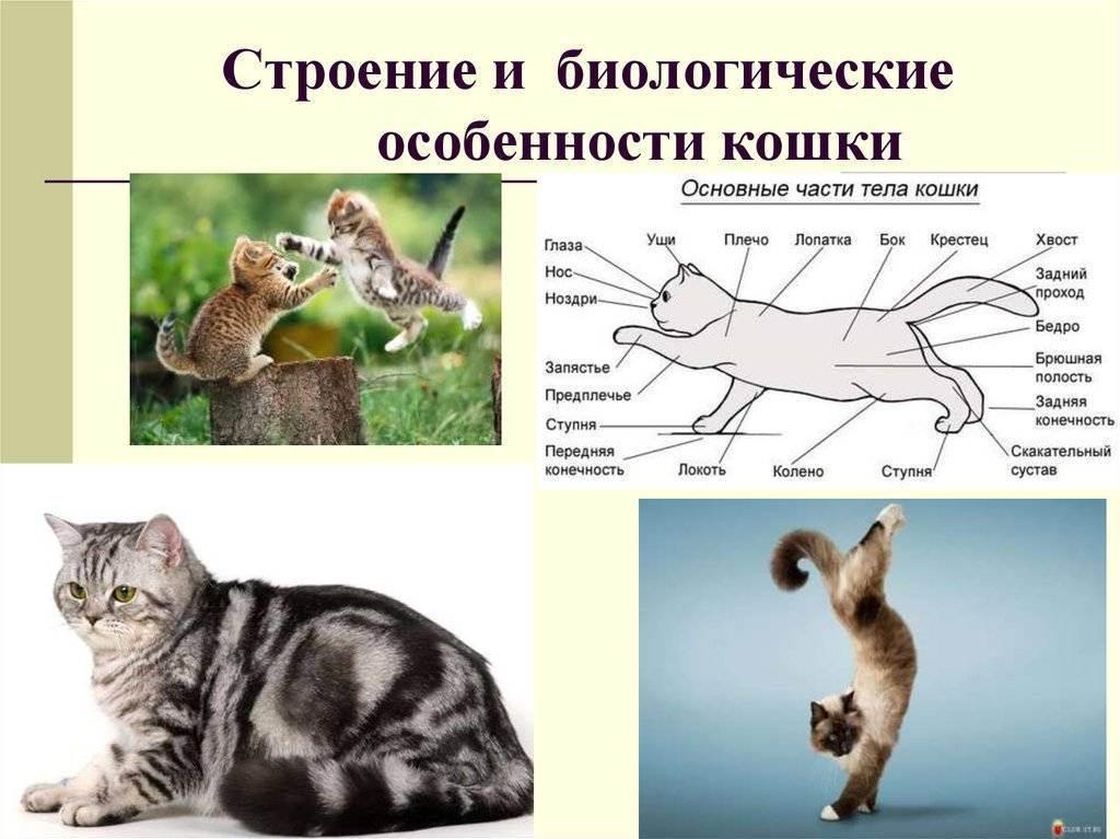 Биологические особенности кошек | обучонок