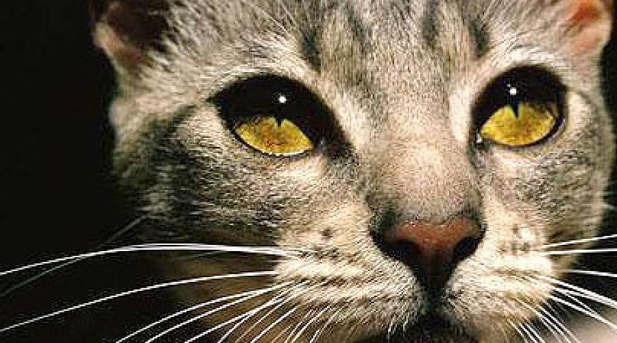 Можно ли кошкам сладкое?