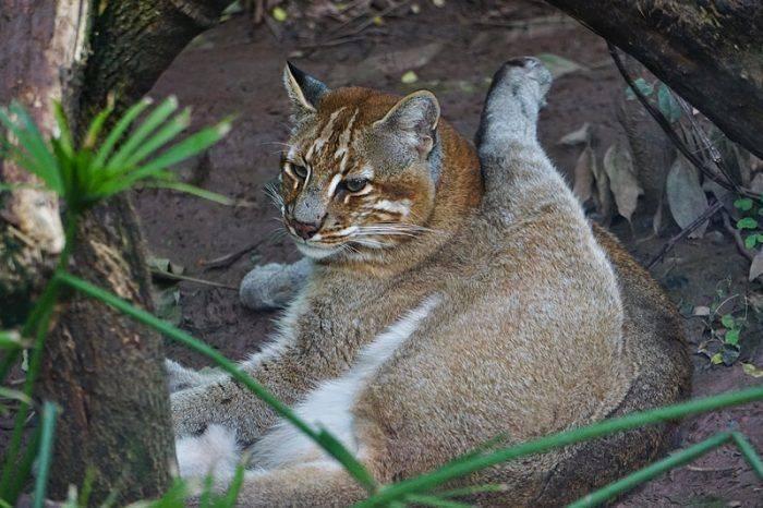 Дикие кошки: виды животных, характеристика и образ жизни