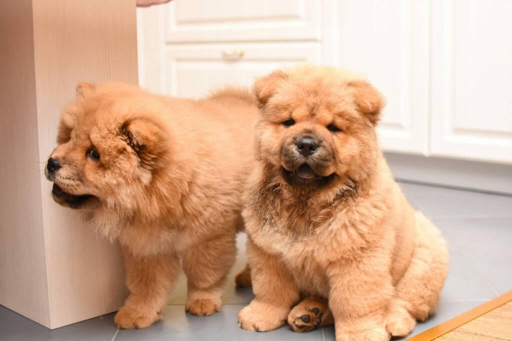 Обзор собак, похожих на медведей