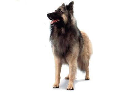 Пироплазмоз у собак: симптомы и лечение, инкубационный период и типичные признаки заболевания, а, также, возможные последствия и меры профилактики